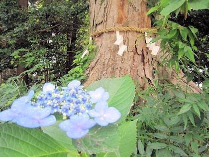 紫陽花と御神木