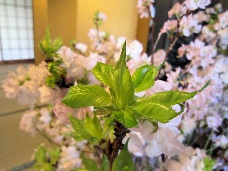 牡丹桜の葉