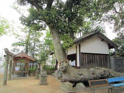 角刺神社拝殿とイチイガシ