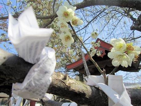 氷室神社の白梅とおみくじ