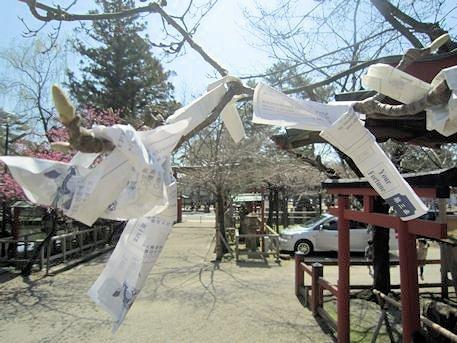 氷室神社の枝垂桜とおみくじ