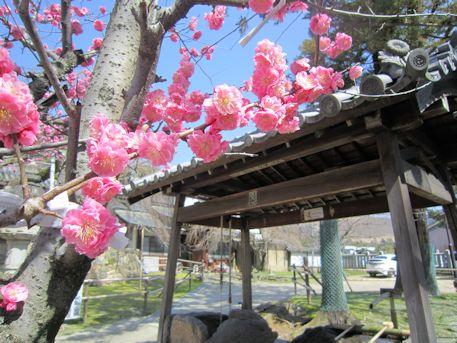 氷室神社の紅梅と手水舎
