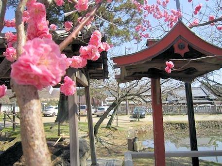 氷室神社の紅梅
