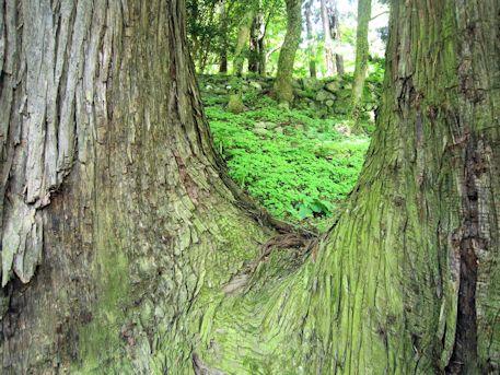 長谷寺二本の杉
