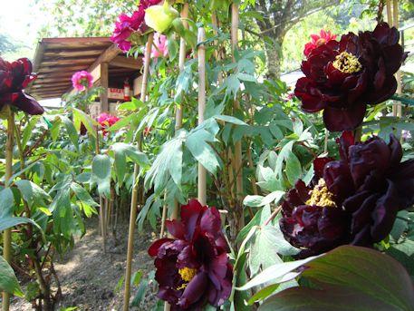 長谷寺の黒い牡丹