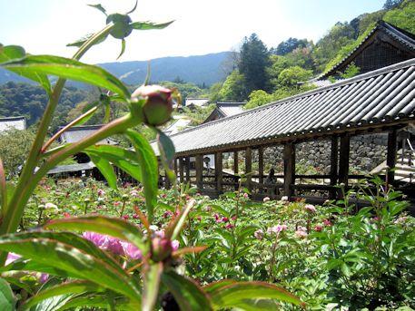 長谷寺の牡丹と登廊