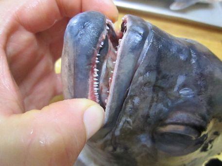 ギンガメアジの歯