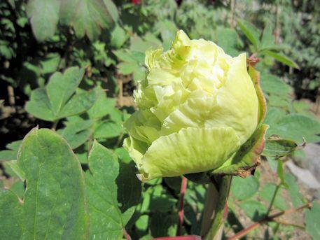 長谷寺の緑色の牡丹
