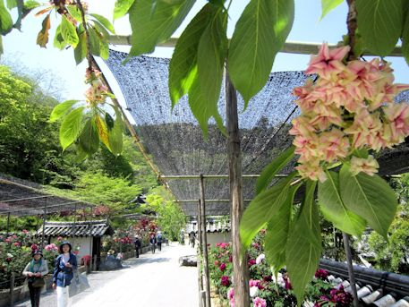 長谷寺本坊前の御衣黄桜