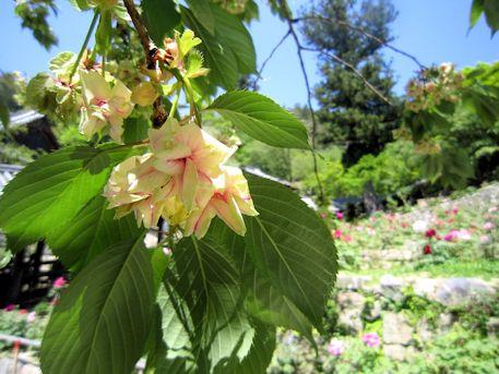 長谷寺の御衣黄桜と天狗杉