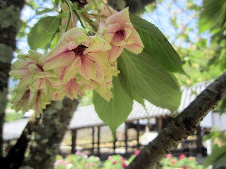 長谷寺の御衣黄桜と登廊