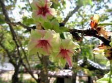 長谷寺の御衣黄桜