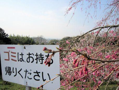 注意看板と桜