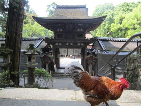 石上神宮楼門と鶏