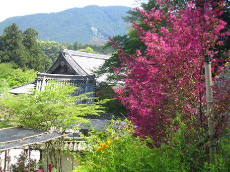 長谷寺のベニバナトキワマンサク