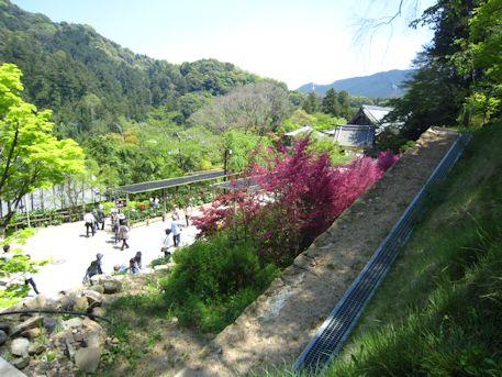 長谷寺参拝客とベニバナトキワマンサク