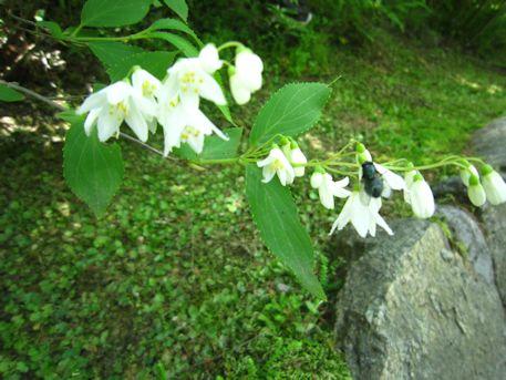 長谷寺の姫空木と虫
