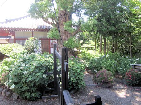久米寺のあじさい園