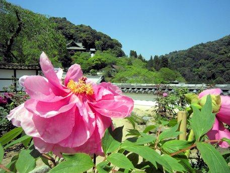 長谷寺の牡丹