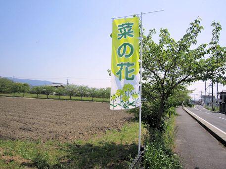 藤原宮跡の菜の花