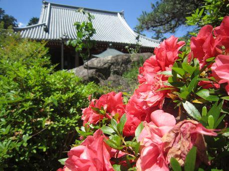 久米寺本堂とツツジ