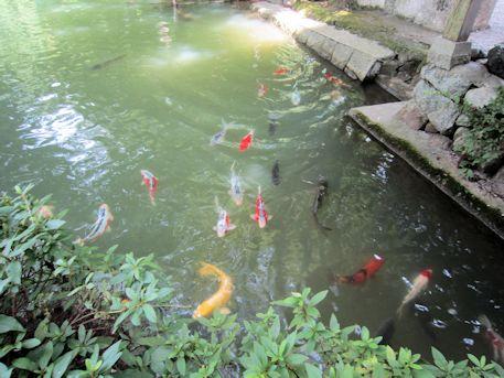 高鴨神社放生池の鯉