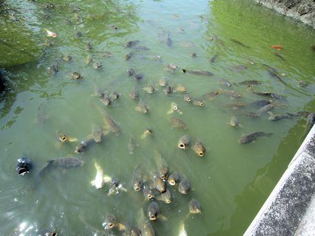 屋敷山公園の鯉