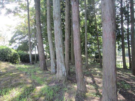 屋敷山古墳の木