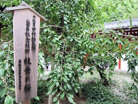源九郎稲荷神社の枝垂れ桜