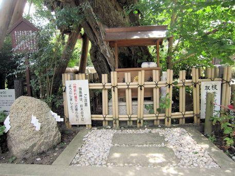 葛城一言主神社の乳銀杏