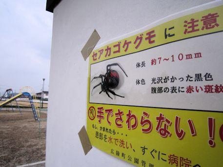百済寺公園のセアカゴケグモ