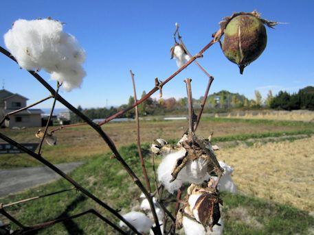 山の辺の道の綿の実