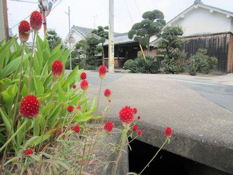 南郷環濠集落に咲く千日紅