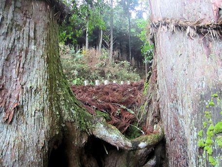 天一神社の巨木