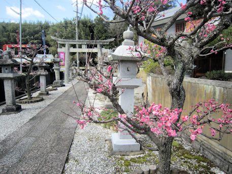 高皇産霊神社の梅
