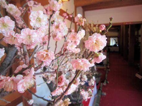 八重咲きの梅