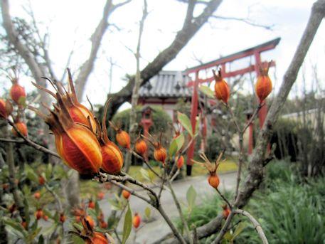 永慶寺のクチナシの実