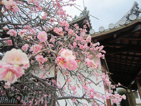 永慶寺の梅と本堂