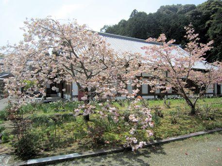 橘寺往生院と八重桜