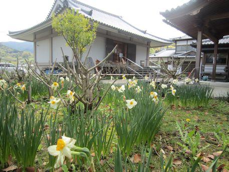 橘寺聖倉殿と水仙