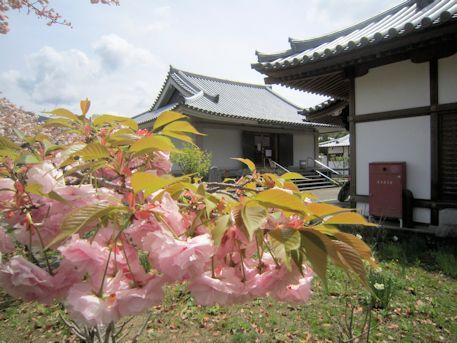 橘寺聖倉殿と八重桜