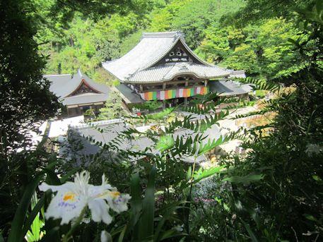 岡寺本堂とシャガ