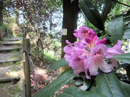 岡寺の石楠花の道