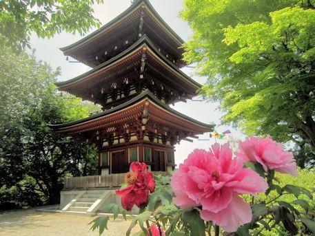 岡寺の牡丹と三重宝塔