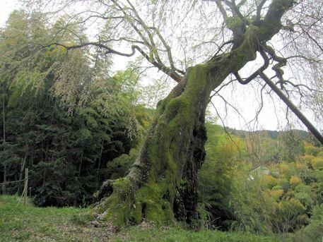 八講桜の幹