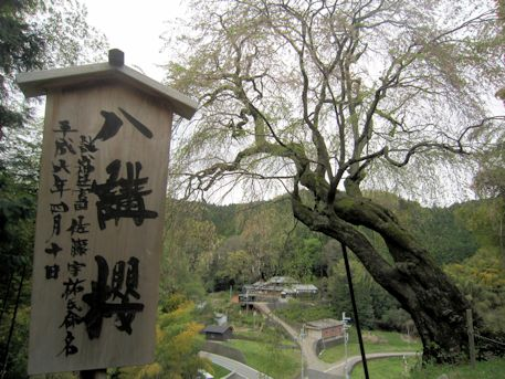 八講桜の札