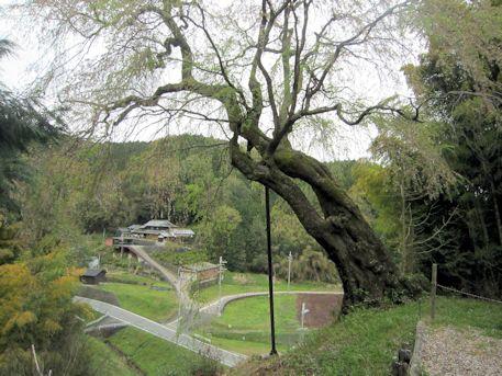 今井谷の八講桜