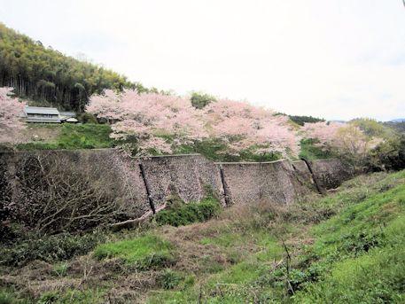中和営繕の桜