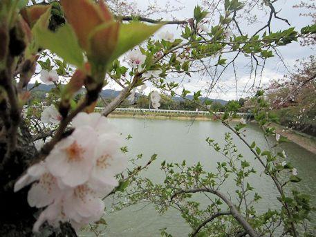 桜と醍醐池