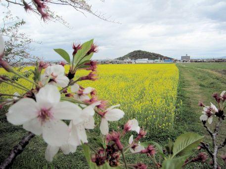 耳成山と桜